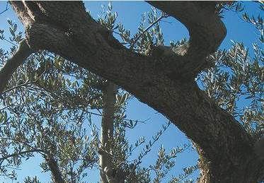 Organizzazione di Produttori Rapolla Fiorente s.c.a r.l. Olivicoltore Molitore Confezionatore